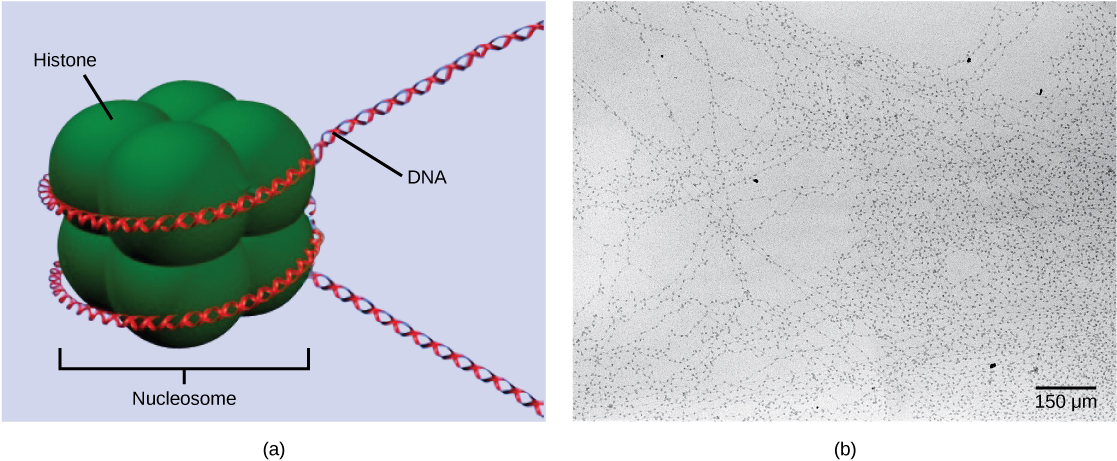 Part A depicts a nucleosome composed of spherical histone proteins that are fused together. A double-stranded D N A helix wraps around the nucleosome twice. Free D N A extends from either end of the nucleosome. Part B is an electron micrograph of D N A that is associated with nucleosomes. Each nucleosome looks like a bead. The beads are connected together by free D N A. Nine beads strung together is approximately 150 n m across.