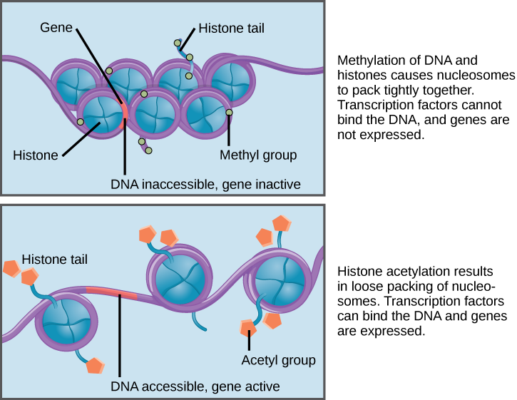 Nucleosomes are depicted as wheel like structures. The nucleosomes are made up of histones, and have D N A wrapped around the outside. Each histone has a tail that juts out from the wheel. When D N A and the histone tails are methylated, the nucleosomes pack tightly together so there is no free D N A. Transcription factors cannot bind, and genes are not expressed. Acetylation of histone tails results in a looser packing of the nucleosomes. Free D N A is exposed between the nucleosomes, and transcription factors are able to bind genes on this exposed D N A.