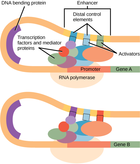 Eukaryotic gene expression is controlled by a promoter immediately adjacent to the gene, and an enhancer far upstream. The D N A folds over itself, bringing the enhancer next to the promoter. Transcription factors and mediator proteins are sandwiched between the promoter and the enhancer. Short D N A sequences within the enhancer called distal control elements bind activators, which in turn bind transcription factors and mediator proteins bound to the promoter. R N A polymerase binds the complex, allowing transcription to begin. Different genes have enhancers with different distal control elements, allowing differential regulation of transcription.