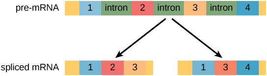 A pre m R N A has four exons separated by three introns. The pre m R N A can be alternatively spliced to create two different proteins, each with three exons. One protein contains exons one, two, and three. The other protein contains exons one, three and four.