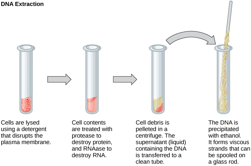 This illustration shows the four main steps of D N A extraction. In the first step, cells in a test tube are lysed using a detergent that disrupts the plasma membrane. In the second step, cell contents are treated with protease to destroy protein, and RNAase to destroy R N A. The resulting slurry is centrifuged to pellet the cell debris. The supernatant, or liquid, containing the D N A is then transferred to a clean test tube. The D N A is precipitated with ethanol. It forms viscous, mucous-like strands that can be spooled on a glass rod