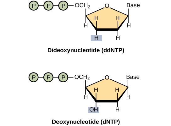 A deoxynucleotide consists of a deoxyribose sugar, a base, and three phosphate groups. Dideoxyribose is identical to deoxyribose except that the hydroxyl, upper case O upper case H, group at the 3 prime position is replaced by upper case H. A 3 prime hydroxyl is necessary for elongation of the D N A chain, and the chain therefore stops growing if a dideoxyribose instead of deoxyribose is incorporated into the growing chain.