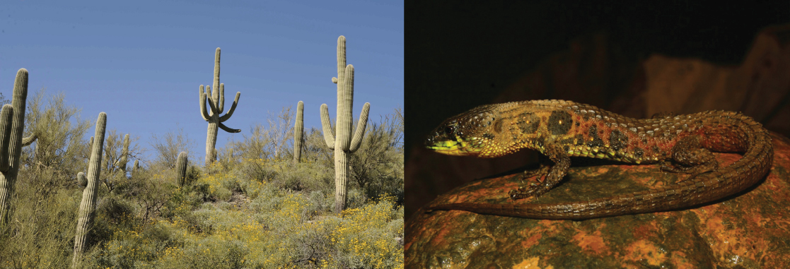 The photo on the left shows large, stalk-like saguaro cacti with multiple arms, and the photo on the right shows a lizard on a rock.
