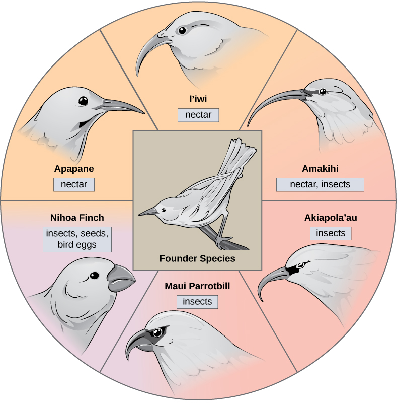 The illustration shows a wheel with the founder species at the hub. The spokes of the wheel are six modern honeycreeper bird species that evolved from the founder bird species. Five of these birds eat insects and or nectar and have long, thick beaks; these are the Apapane, Liwi, Amakihi, Akiapola'au and Maui Parrotbill. The Nihoa Finch has a short, fat beak and eats insects, seeds, and bird eggs.