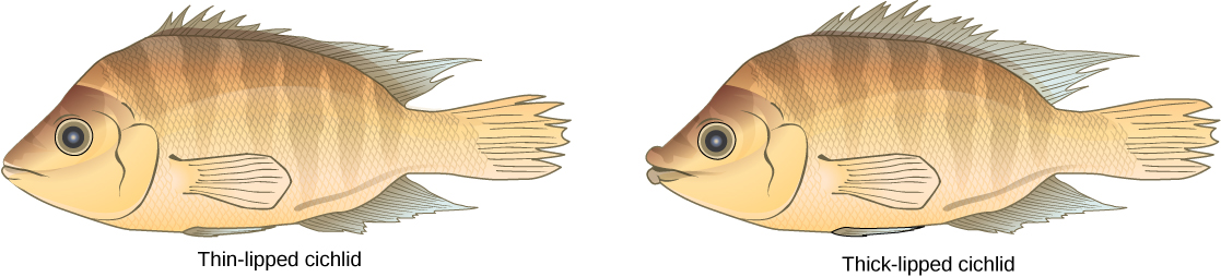 Illustrations show two species of cichlid fish which are similar in appearance except that one has thin lips, and one has thick lips.