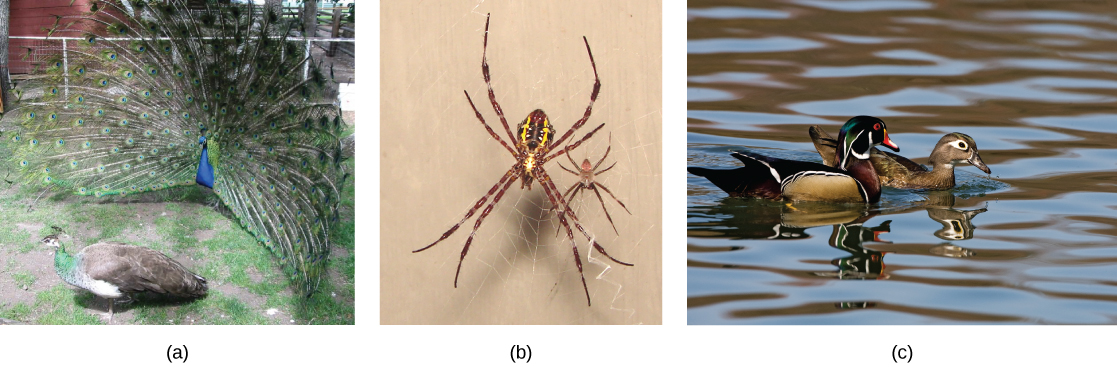 The photo on the left shows a peacock with a bright blue body and flared tail feathers standing next to a brown, drab peahen. The middle photo shows a large female spider sitting on a web next to its much smaller male counterpart. The photo on the right shows a brightly colored male wood duck swimming next to a drab brown female.