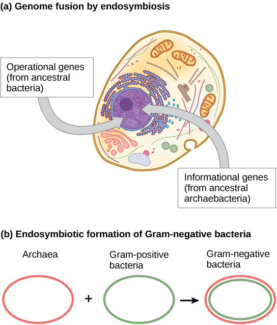 Part A shows a eukaryotic cell. The illustration indicates that, within the nucleus, operational genes were inherited from an ancestral bacteria, and informational genes were inherited from an ancestral Archaebacteria. Part B indicates that the outer membrane of Gram negative bacteria is derived from Archaea, and the inner membrane is derived from Gram positive bacteria.