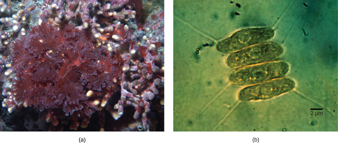 Part a shows red algae with lettuce-like leaves. Part b shows four oval green algae cells stacked next to each other. The cyanobacteria are about 2 micrometers across and 10 micrometers long.