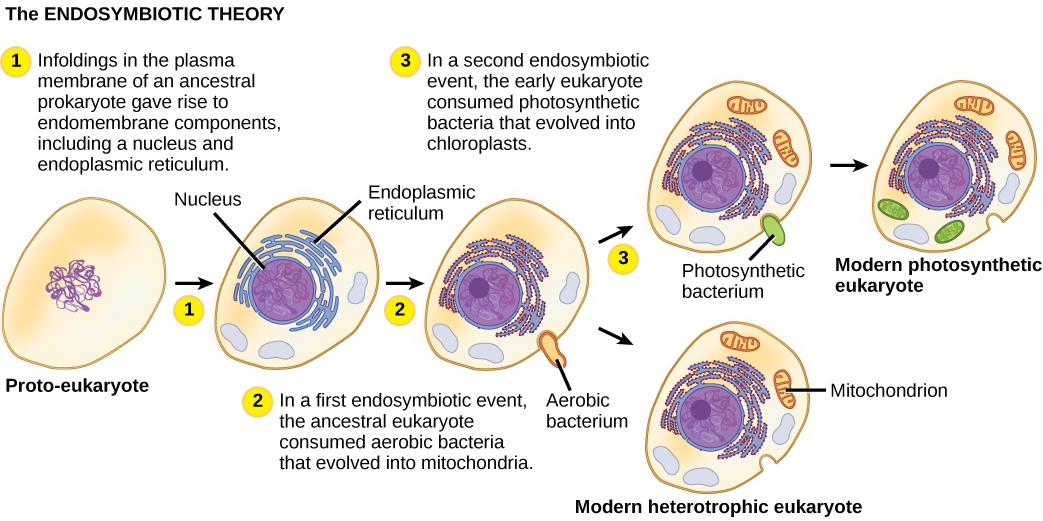 The illustration shows steps that, according to the endosymbiotic theory, gave rise to eukaryotic organisms. In step 1, infoldings in the plasma membrane of an ancestral prokaryote gave rise to endomembrane components, including a nucleus and endoplasmic reticulum. In step 2, the first endosymbiotic event occurred: The ancestral eukaryote consumed aerobic bacteria that evolved into mitochondria. In a second endosymbiotic event, the early eukaryote consumed photosynthetic bacteria that evolved into chloroplasts.