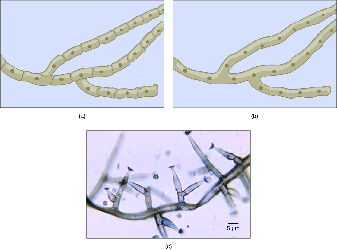 Part A is an illustration of septated hyphae. Cells within the septated hyphae are rectangular. Each cell has its own nucleus, and connects to other cells end to end in a long strand. Two branches occur in the hyphae. Part B is an illustration of coenocytic hyphae. Like the septated hyphae, the coenocytic hyphae consist of long, branched fibers. However, in coenocytic hyphae, there is no separation between the cells or nuclei. Part C is a light micrograph of septated hyphae from Phialophora richardsiae. The hyphae consists of a long chain of cells with multiple branches. Each branch is about 3 microns wide and varies from 3 to 20 microns in length.