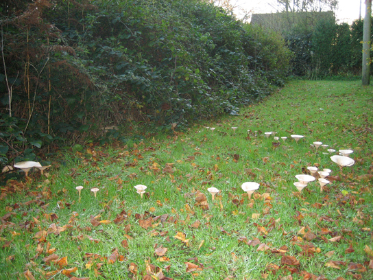 Photo shows toadstool muschrooms growing on a lawn, and forming a large circle.