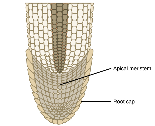 Illustration shows the tip of a root. The cells in the tip are smaller than the more mature cells further up.