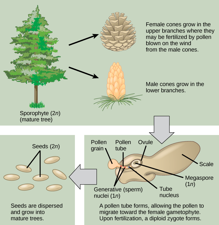 The conifer life cycle begins with a mature tree, which is called a sporophyte and is diploid 2 n. The tree produces male cones in the lower branches, and female cones in the upper branches. The male cones produce pollen grains that contain two generative, sperm, nuclei and a tube nucleus. When the pollen lands on a female scale, a pollen tube grows toward the female gametophyte, which consists of an ovule containing the megaspore. Upon fertilization, a diploid zygote forms. The resulting seeds are dispersed, and grow into a mature tree, ending the cycle.