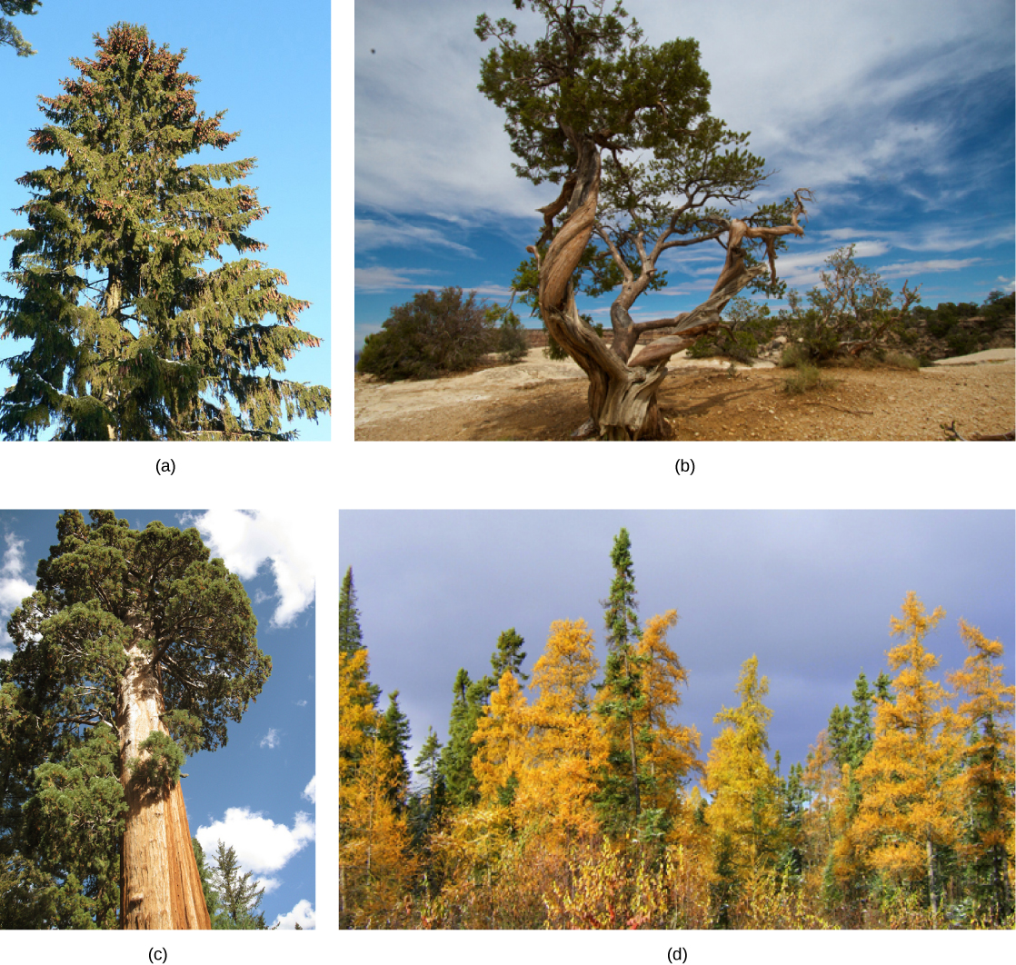 Photo A shows a tall spruce tree covered in pine cones. Photo B shows a juniper tree with a gnarled trunk. Photo C shows a sequoia with a tall, broad trunk and branches starting high up the trunk. Photo D shows a forest of tamarack with yellow needles.