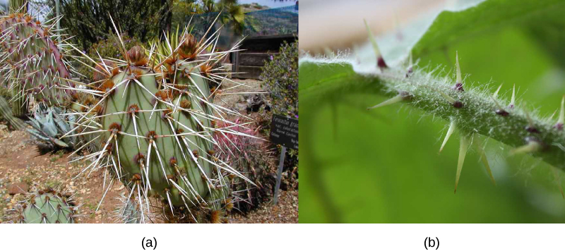 Photo A shows a green cactus. It is covered in clusters of long, slender spines that are pale white and have visible sharp points. Photo B shows a green fuzzy stem with several short green thorns protruding from it.