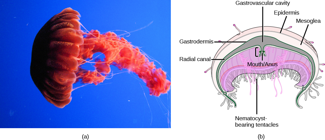 Part a shows a photo of a bright red jellyfish with a dome-shaped body. Long tentacles drift from the bottom edge of the dome, and ribbon-like appendages trail from the middle of the body. Part b shows a cross-section of a jellyfish, which has nematocyst-bearing tentacles hanging from the bottom of the dome. Underneath the middle of the dome is an opening that serves as both a mouth and an anus. The opening leads to a gastrovascular cavity that is lined with a gastrodermis. The outer surface of the body is covered with an epidermis. Between the epidermis and gastrodermis is the mesoglea.
