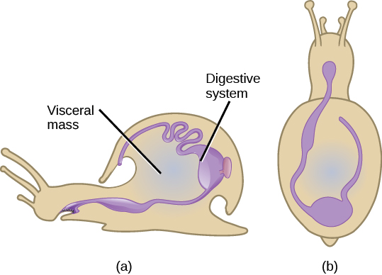 Illustration A shows a side view of a snail. The digestive system starts at the mouth, and continues to the stomach toward the back of the shell. The stomach empties into the intestines, which continue forward along the upper inside edge of the shell and end a cavity above the mouth. Illustration B shows a top view of a snail. From the mouth, the digestive tract curves toward the left, then hooks around to the right and goes back toward the front of the creature.