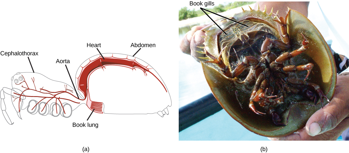 Part A is a diagram of a spider showing an outline of the body, with the heart and lung inside. The book lung looks like a book with many pages and is located just anterior to a spiracle in the ventral abdomen. The heart is a long tube located in the dorsal portion of the abdomen. Part B is a photo of the underside of a horseshoe crab. The book gills are 5 pairs of plates near the tail.