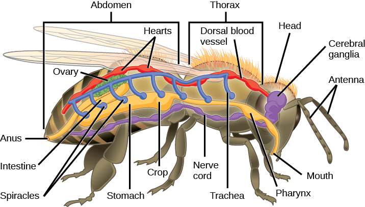 The illustration shows the anatomy of a bee. The digestive system consists of a mouth, pharynx, stomach, intestine, and anus. The respiratory system consists of spiracles, or openings, along the side of the bees body that connect to tubes that run up and join a larger dorsal tube that connects all the spiracles together. The circulatory system consists of a dorsal blood vessel that has multiple hearts along its length. The nervous system consists of cerebral ganglia in the head that connect to a ventral nerve cord.