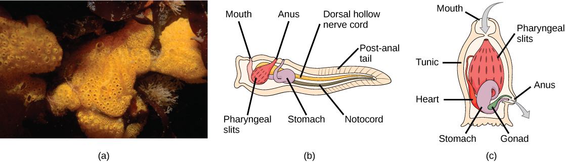 Photo A shows tunicates, which are sponge-like in appearance and have holes along the surface. Illustration B shows the tunicate larval stage, which resembles a tadpole, with a post anal tail at the narrow end. A dorsal hollow nerve cord run along the upper back, and a notochord runs beneath the nerve cord. The digestive tract starts with a mouth at the front of the animal connected to a stomach. Above the stomach is the anus. The pharyngeal slits, which are located in between the stomach and mouth, are connected to an atrial opening at the top of the body. Illustration C shows an adult tunicate, which resembles a tree stump anchored at the bottom. Water enters through a mouth at the top of the body and passes through the pharyngeal slits, where it is filtered. Water then exits through another opening at the side of the body. A heart, stomach and gonad are tucked beneath the pharyngeal slit. The outer surface is called a tunic.