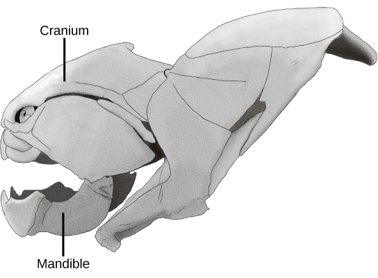 The cranium wraps around the upper part of the head. The mandible is the lower jaw. Other bones complete the skull.