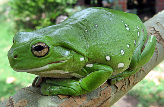 The photo shows a big, bright green frog sitting on a branch.