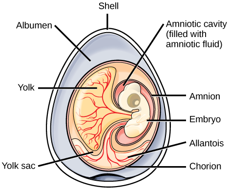 The illustration shows a cross section of an egg.  The outer covering is called the shell.  There is a circular mass inside with many different parts.  Surrounding the mass, within the shell is the albumen.  The outer layer of the circular mass is the churion.  An embryo is contained within an amniotic cavity, filled with amniotic fluid.  Attached to the embryo is a yolk sac, filled with a yolk substance.  Vein like features, called allantois, extend from the choriion ot the embryo.