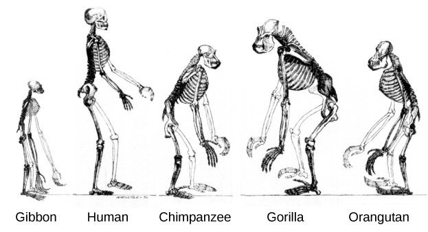 Image depicts various skeletons of great ape primates, including gibbon, chimp, and human. The skeletons have significant similarities, but their posture and structures differ. Most apes have much longer arms relative to their height than do humans. Only humans and gibbons have an upright posture. And gorillas, chimps, and orangutans have much larger vertebrae (relative to their size) in the neck and upper back.