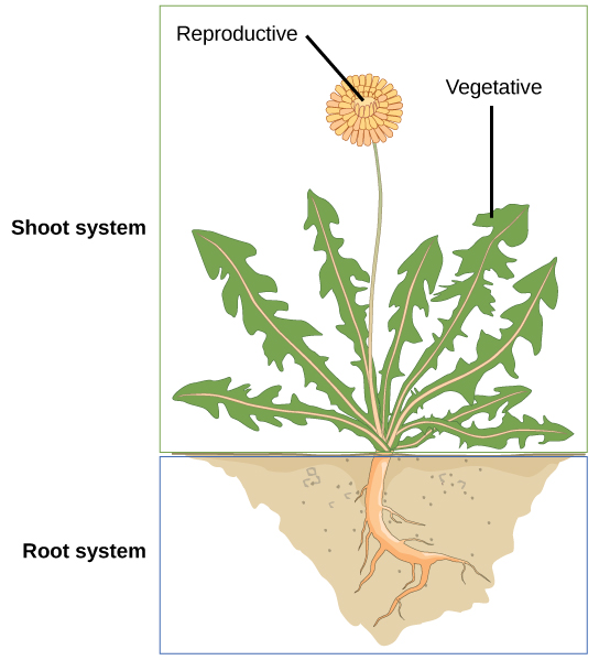 Illustration shows a dandelion plant. The shoot system consists of leaves and a flower on a stem.  The flower is labeled as reproductive; the leaves are labeled as vegetative.  The root system consists of a single, thick root that branches into smaller roots.