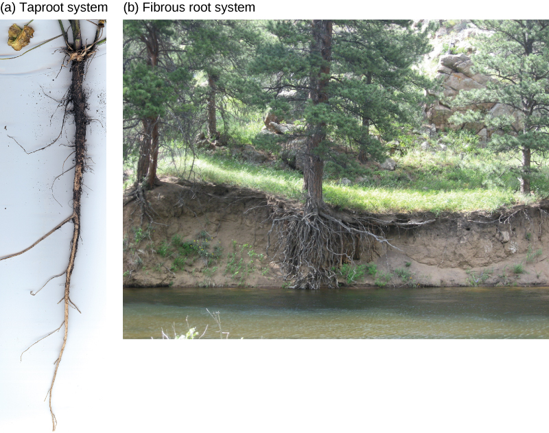 First photo shows carrots, which are thick tap roots that have thin lateral roots extending from them. Second photo shows trees growing along a river bank.  The bank has worn away, showing a fibrous root system beneath the soil.