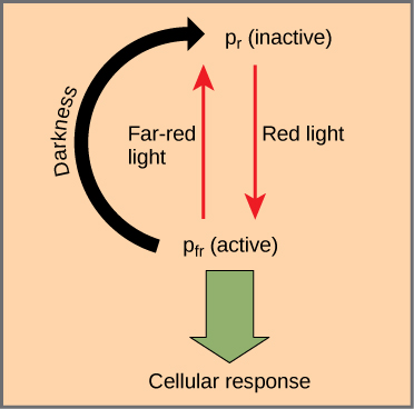 Diagram shows the active, written as P r, and inactive, written as P f r, forms of phytochrome. An arrow indicates that red light converts the inactive form to the active form. Far red light or darkness converts the active form back to the inactive form. When phytochrome is active, a cellular response occurs.