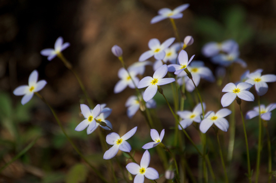 Photo shows blue flowers all tilted in the same direction. The flowers have four small petals and a yellow center, and each flower sits atop a slender green stem.