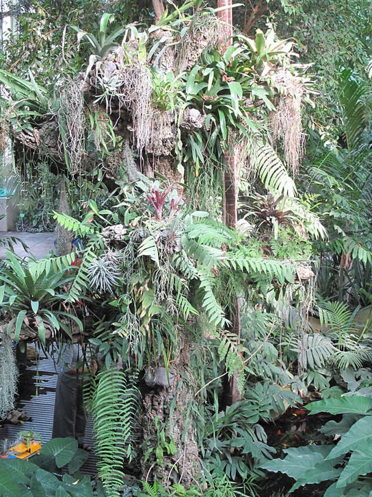 Photo shows a tree trunk covered with epiphytes, which look like ferns growing on the trunk of a tree. There are so many epiphytes the trunk is nearly obscured.
