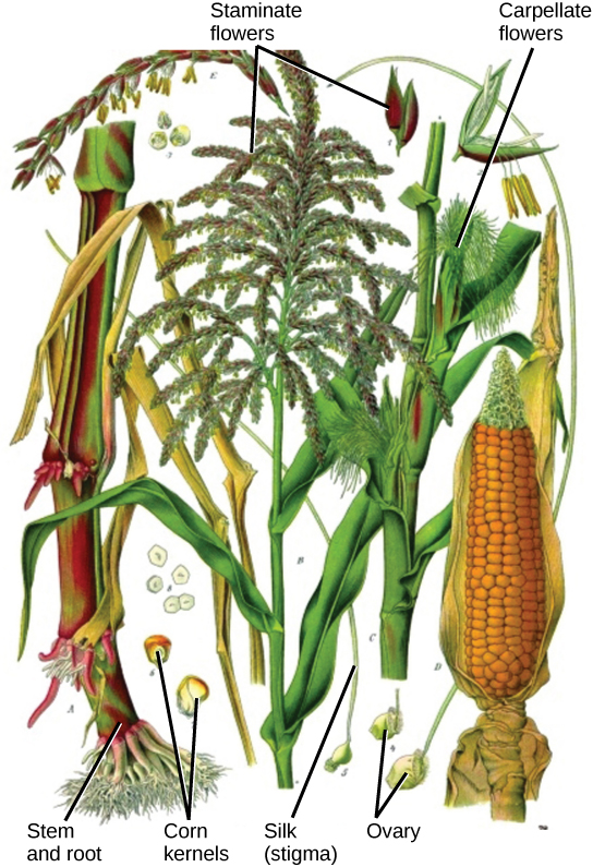 Illustration shows parts of a corn plant. Staminate flowers are tiny flowers that cluster in strands to form the tassel at the top of the plant. Pollen grains are small, teardrop-shaped structures. Carpellate flowers are clustered in the immature ear, which is covered by leaves. Silk protrudes from the tops of the leaves covering the flower. In the mature ear, the kernels form where the carpellate flowers were located.