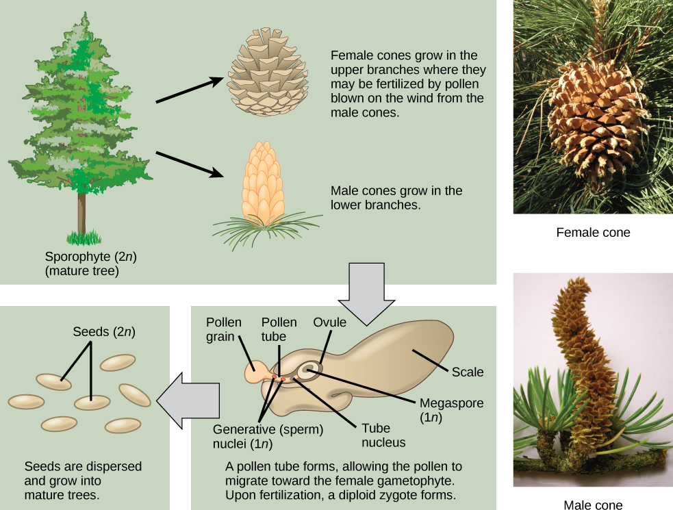 The conifer life cycle begins with a mature tree, which is called a sporophyte and is diploid, 2 n. The tree produces male cones in the lower branches, and female cones in the upper branches. The male cones produce pollen grains that contain two generative, sperm, nuclei and a tube nucleus. When the pollen lands on a female scale, a pollen tube grows toward the female gametophyte, which consists of an ovule containing the megaspore. Upon fertilization, a diploid zygote forms. The resulting seeds are dispersed, and grow into a mature tree, ending the cycle. Both the male and female cone are made up of rows of scales, but the female cone is round and wide, and the male cone is long and thin with thinner scales.