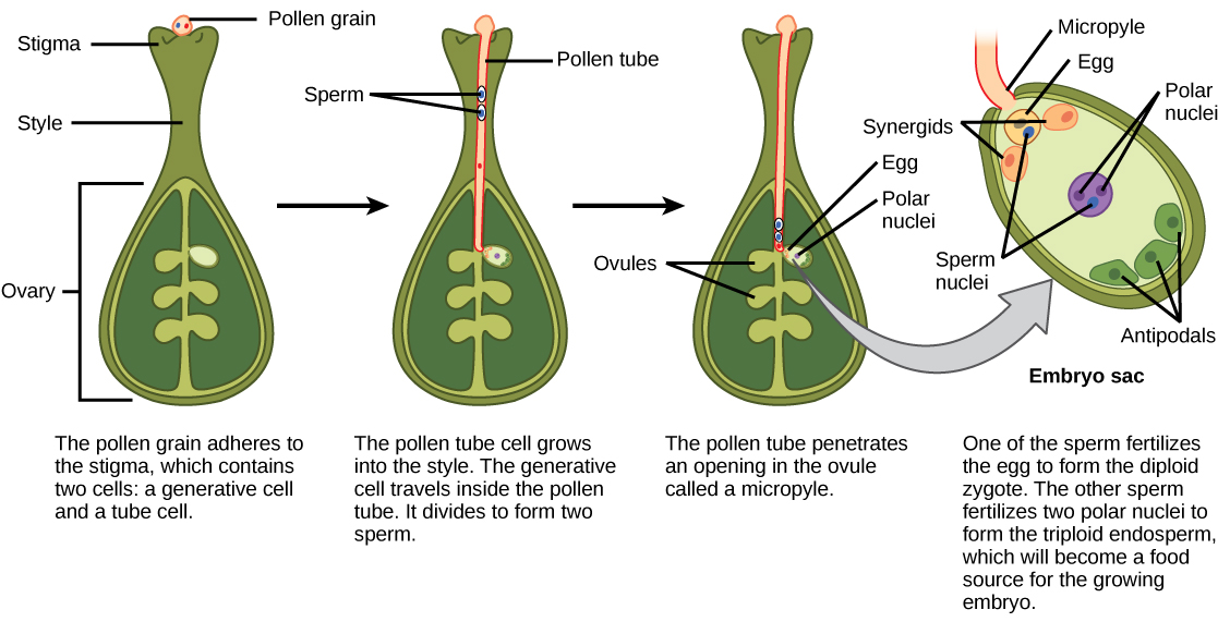 Illustration shows the gynoecium of a flowering plant. A pollen grain adheres to the stigma. The pollen contains two cells: a generative cell and a tube cell. The pollen tube cell grows into the style. The generative cell travels inside the pollen tube. It divides to form two sperm. The pollen tube penetrates an opening in the ovule called a micropyle. One of the sperm fertilizes the egg to form the zygote. The other sperm fertilizes two polar nuclei to form a triploid endosperm, which becomes a food source for the growing embryo.