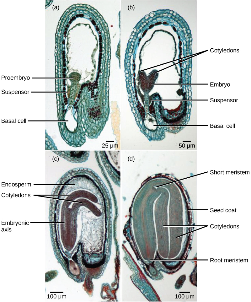 Micrograph A shows a seed in the initial stage of development. The proembryo grows inside an oval-shaped ovary with an opening at the bottom. The basal cell is at the bottom ovary, and suspensor cells are above it. The globular proembryo grows at the top of the suspensor. Micrograph B shows the second stage of development, in which the embryo grows into a heart-shape. Each bump in the heart is a cotyledon. Micrograph C shows the third stage of development. The embryo has grown longer and wider, and the cotyledons have grown into long extensions resembling bunny ears bent so they fit inside the seed. Cells inside the embryo grow in vertical columns. The central column, between the two ears, is called the embryonic axis. Micrograph D shows the fourth stage of development. The bunny ears are now as large as the main part of the embryo, and completely folded over. The base of the embryo is the root meristem, and the space between the two ears is the shoot meristem. A seed coat has formed over the ovary.
