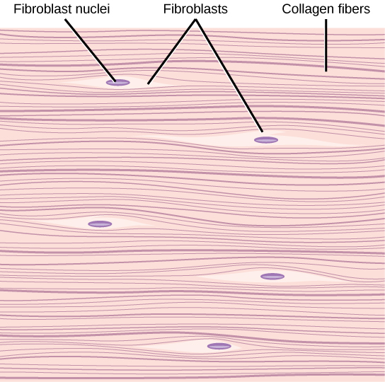 Illustration shows parallel collagen fibers woven tightly together. Interspersed among the collagen fibers are long, thin fibroblasts.
