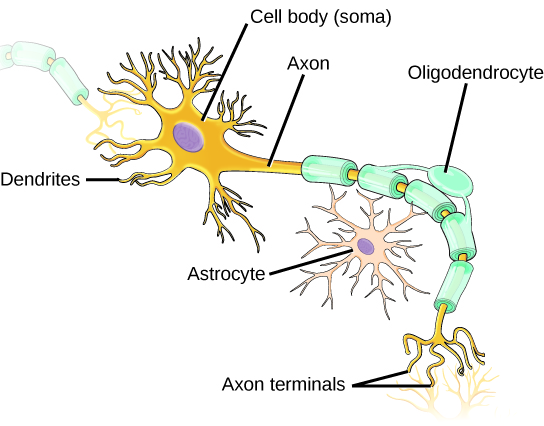 Illustration shows a neuron which has an oval cell body, labeled as a soma. Branchlike dendrites extend from three sides of the body. A long, thin axon extends from the fourth side. At the end of the axon are branchlike terminals, called axon terminals. A cell called an oligodendrocyte grows alongside the axon. Projections from the oligodendrocyte wrap around the axon, forming a myelin sheath. Another cell called an astrocyte sits alongside the axon.