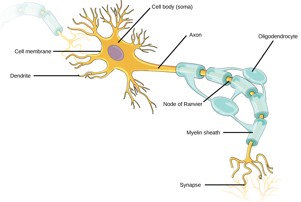Illustration shows a neuron. The main part of the cell body, called the soma, contains the nucleus. Branch-like dendrites project from three sides of the soma. A long, thin axon projects from the fourth side. The axon branches at the end. The tip of the axon is in close proximity to dendrites of an adjacent nerve cell. The narrow space between the axon and dendrites is called the synapse. Cells called oligodendrocytes are located next to the axon. Projections from the oligodendrocytes wrap around the axon, forming a myelin sheath. The myelin sheath is not continuous, and gaps where the axon is exposed are called nodes of Ranvier.