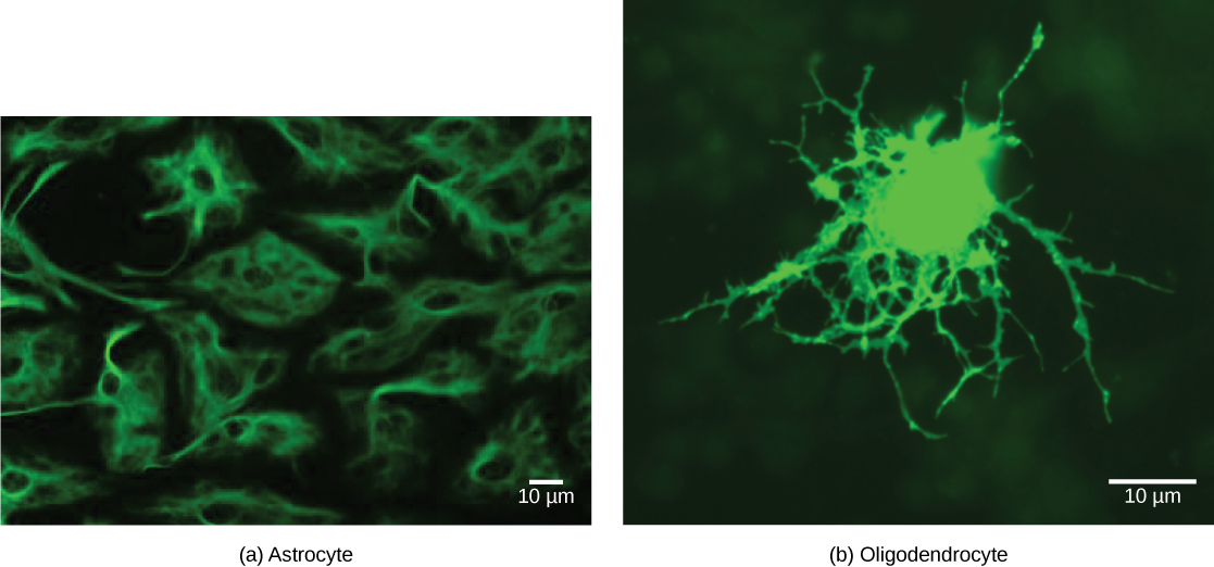Astrocytes, fluorescently labeled green, are irregularly shaped with long extensions that provide support to nerve cells. Oligodendrocytes, also labeled green, are round with long, branched extensions that form the myelin sheath of nerve cells.