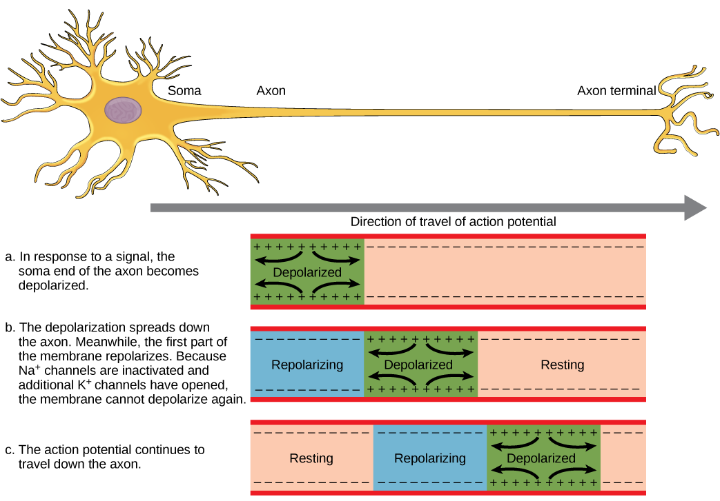 The action potential travels from the soma down the axon to the axon terminal. The action potential is initiated when a signal from the soma causes the soma-end of the axon membrane to depolarize. The depolarization spreads down the axon. Meanwhile, the membrane at the start of the axon repolarizes. Because potassium channels are open, the membrane cannot depolarize again. The action potential continues to spread down the axon this way.