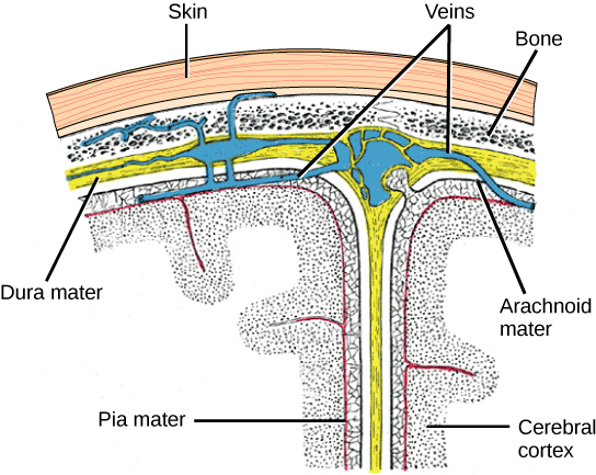 Illustration shows the three meninges that protect the brain. The outermost layer, just beneath the skull, is the dura mater. The dura mater is the thickest meninge, and blood vessels run through it. Beneath the dura mater is the arachnoid mater, and beneath this is the pia mater.