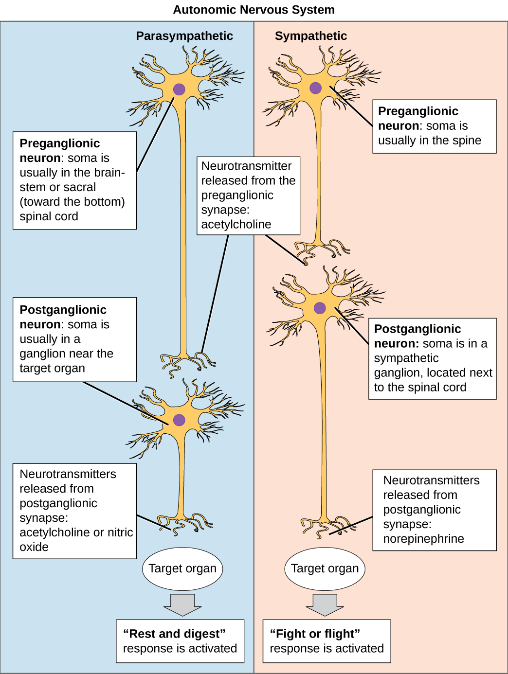 The autonomic nervous system is divided into sympathetic and parasympathetic systems. In the sympathetic system, the soma of the preganglionic neurons is usually located in the spine while in the parasympathetic system the soma is usually in the brainstem or sacral, at the bottom of the spine. In both systems, the preganglionic neuron releases the neurotransmitter acetylcholine into the synapse. Postganglionic neurons of the sympathetic system have somas in a sympathetic ganglion, located next to the spinal cord. Postganglionic neurons of the parasympathetic system have somas in ganglions near the target organ. Postganglionic neurons of the sympathetic system release norepinephrine into the synapse, in which the fight or flight response is activated; while postganglionic neurons of the parasympathetic system release acetylcholine or nitric oxide, in which the rest and digest response is activated.