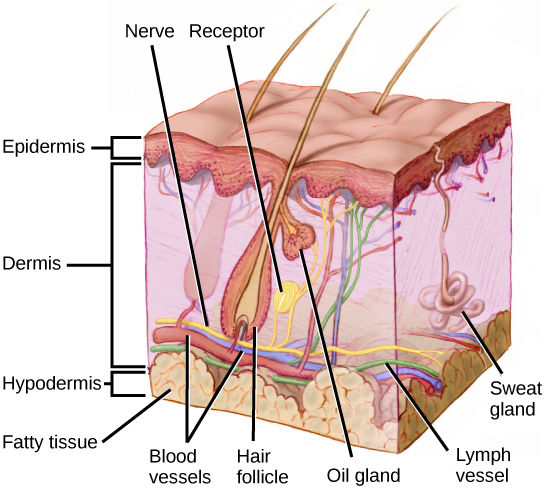 Illustration shows a cross section of mammalian skin. The outer epidermis is a thin layer, smooth on the outside. The middle dermis is much thicker than the epedermis. Blood, nerve and lymph vessels run along the bottom of it, and smaller capillaries and nerve endings extend to the upper part. One nerve ends in a receptor. Sweat glands extend from the dermis into the epidermis. Hair follicles extend from the base of the dermis to the upper part where they are joined by oil glands. Hairs extend from the follicles, through the epidermis and out of the skin. The hypodermis is a fatty layer beneath the dermis, below the blood vessels, and bases of the hair follicles.