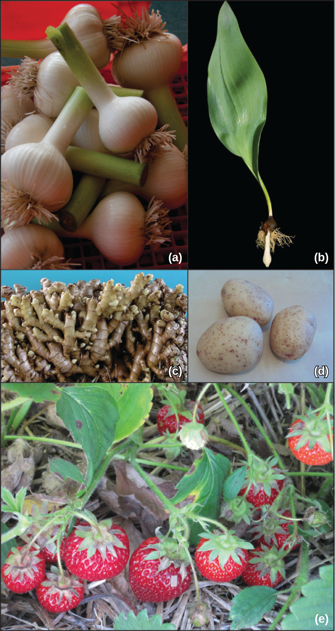 Photo A shows a garlic bulb, with a long tube extending upward.  Photo b shows a plant with a large green leaf whose stem turns into a root system.  Photo C shows a large bundle of ginger stems that are tubular shaped.  Photo D shows potatoes, which are somewhat oval shaped.  Photo E shows strawberries growing along the ground.