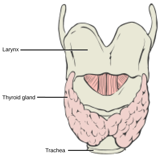 The thyroid is located in the neck beneath the larynx and in front of the trachea. It consists of right and left lobes.
