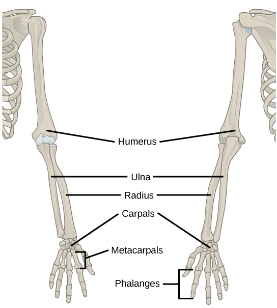 Illustration shows a skeletal human arm. The humerus is the bone of the upper arm. The radius is the thick bone in the forearm, on the side of the thumb and the ulna is the thin bone on the side of the pinkie finger. The carpals are the bones of the wrist, the metacarpals are bones of the hand, and phalanges are bones of the fingers.