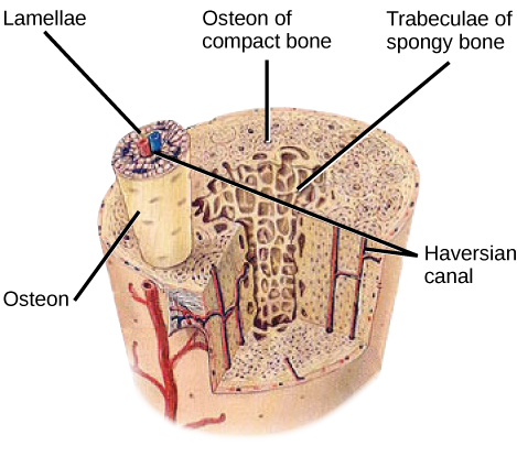 Illustration shows a cross-section of a bone. The compact outer part of the bone is made up of cylindrical osteons that run its length. Each osteon is made up of a matrix of lamellae that surround a central Haversian canal. Arteries, veins and nerve fibers run through the Haversian canals. The spongy inner bone consists of porous trabeculae.