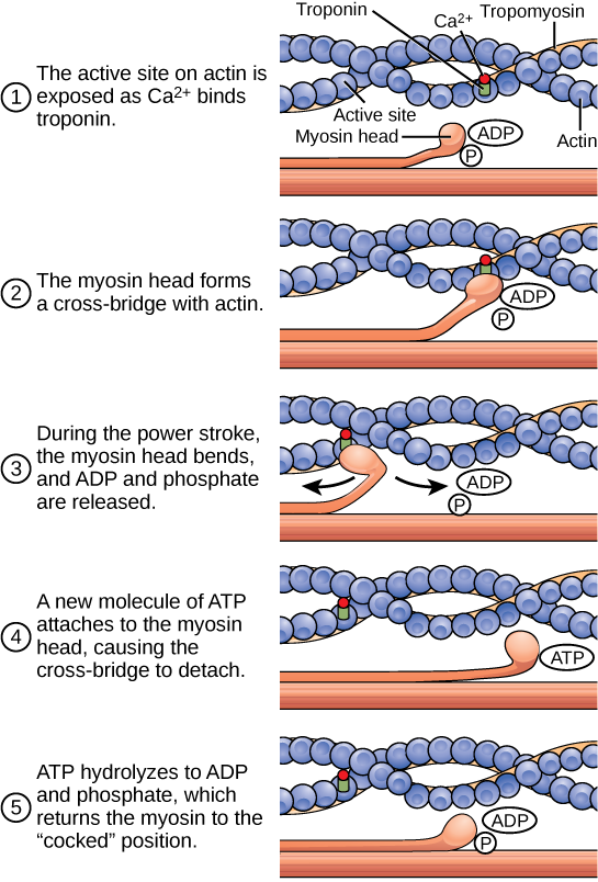 Illustration shows two actin filaments coiled with tropomyosin in a helix, sitting beside a myosin filament. Each actin filament is made of round actin subunits linked in a chain. A bulbous myosin head with A D P and Pi attached sticks up from the myosin filament. The contraction cycle begins when calcium binds to the actin filament, allowing the myosin head to from a cross bridge. During the power stroke, the myosin head bends and A D P and phosphate are released. As a result, the actin filament moves relative to the myosin filament. A new molecule of A T P binds to the myosin head, causing it to detach. The A T P hydrolyzes to A D P and Pi, returning the myosin head to the cocked position.